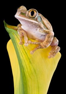 Big-eyed Tree Frog On Yellow Flower Stock Images