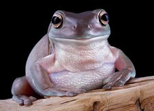 White S Tree Frog On Driftwood Stock Photos