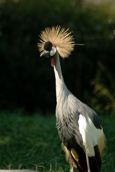 Free Grey Crowned Crane Royalty Free Stock Photography - 6504007