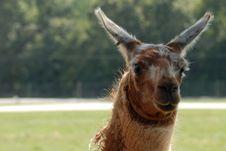 Free Llama Stock Photography - 6504012