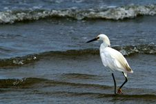 Free Snowy Egret Stock Photography - 6504172