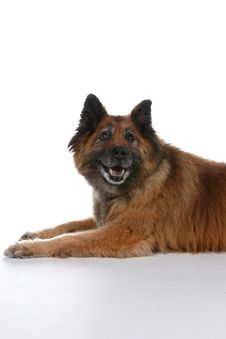 Big Brown Dog With Pointed Ears Stock Image