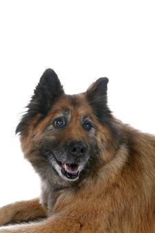 Free Big Brown Dog S Face Over White Background Royalty Free Stock Photography - 6504527