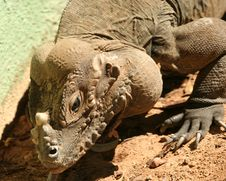 Free A Rhinoceros Iguana Of The Caribbean Royalty Free Stock Photography - 6504607