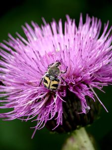 Free Ug Sitting On A Field Flower. Summer. Stock Photo - 6505260