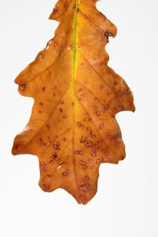 Free Leaf Isolated In White Royalty Free Stock Image - 6505826