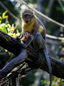 Monkey And Baby Royalty Free Stock Photo
