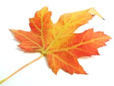 Free Maple Leaf Stock Image - 6507171