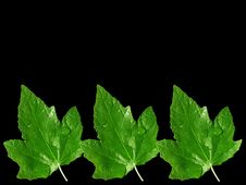 Free Three Leafs On Black Stock Photos - 6507393