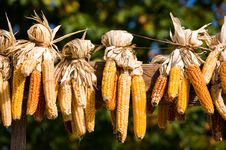 Free Ears Of Fresh Corn Stock Image - 6507781