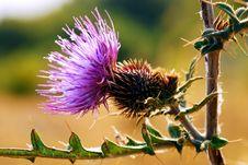 Free Thorny Flower Royalty Free Stock Photos - 6507918
