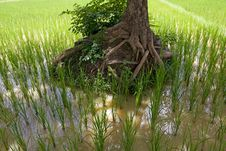 Free Rice Field In Asia, Stock Photography - 6508052