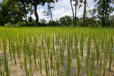 Rice Field In Asia, Stock Photos
