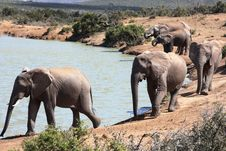 Free Elephant Herd Royalty Free Stock Photography - 6508327