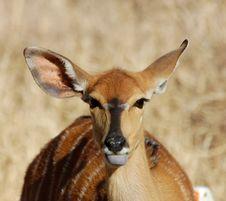 Free Nyala Antelope Stock Images - 6508334
