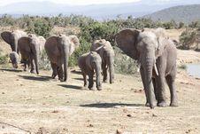 Free Elephant Herd Royalty Free Stock Image - 6508466