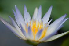 Free Whitish Blue Lili Royalty Free Stock Image - 6509076