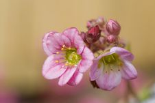 Free Two Small Pink Flowers Royalty Free Stock Photos - 6509088