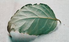 Free Laurel Leaf. Royalty Free Stock Photography - 6509317