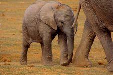 Free Elephant Calf Stock Images - 6509424