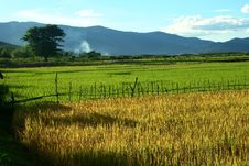 Free Rice Field Royalty Free Stock Photos - 6509938