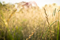 Free Dry Grass Background With Light Of A Sunny Afternoon Royalty Free Stock Photography - 65055047