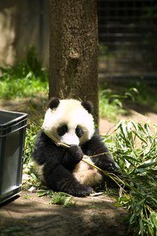 Panda Bear Eating Stock Photo