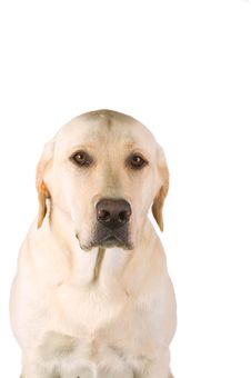 Free Labrador Retriever Stock Image - 6510741