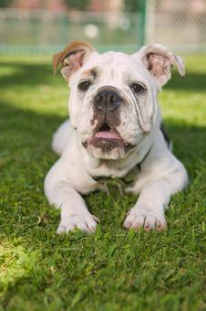 Free Happy Bulldog Royalty Free Stock Photography - 6510987