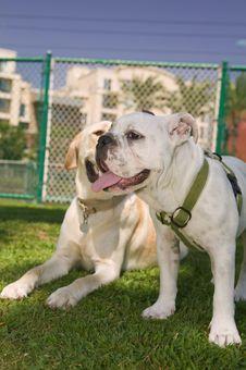 Free Happy Bulldog Royalty Free Stock Photos - 6511008