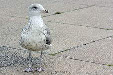 Free Curious Seagull Stock Photo - 6512080