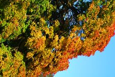 Free Colorful Tree Royalty Free Stock Images - 6512659