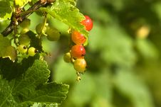 Free Northern Red Currant Royalty Free Stock Photo - 6513015