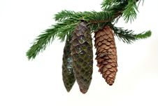 Free Fir-cones Royalty Free Stock Photography - 6513137