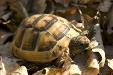 Free Turtle In Dry Foliage Stock Photos - 6514043