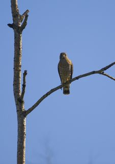Free Broad-Winged Hawk Perched Royalty Free Stock Photos - 6515768