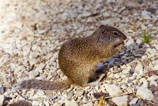 Free Squirrel Stock Images - 6515884