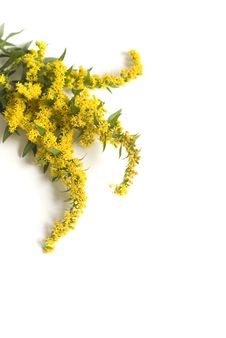 Free Goldenrod Royalty Free Stock Image - 6515896