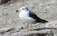 Free Seagull Stock Photography - 6516212