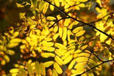 Free Autumn Branch Of The Rowan. Stock Image - 6516541