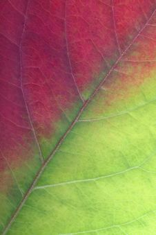 Free Red-green Leaf Royalty Free Stock Image - 6517616