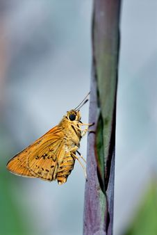 Free Fire Skipper Butterfly Stock Image - 6517831