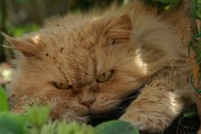 Free Persian Cat Rest Stock Image - 6517971