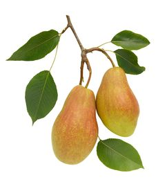 Free Two Pears Stock Photo - 6517990