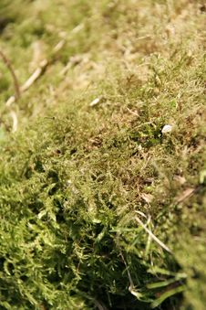 Free Close Up Of Moss Royalty Free Stock Images - 6518009