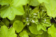 Fresh Green Leafs With Dew Stock Photo