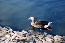 Free Swiming Duck Royalty Free Stock Image - 6518296