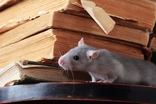 Free Rat  In Library Stock Image - 6518811