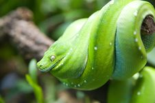 Free Beautiful Snake Royalty Free Stock Photos - 6519058