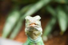Lizzard Looking At You Stock Photos